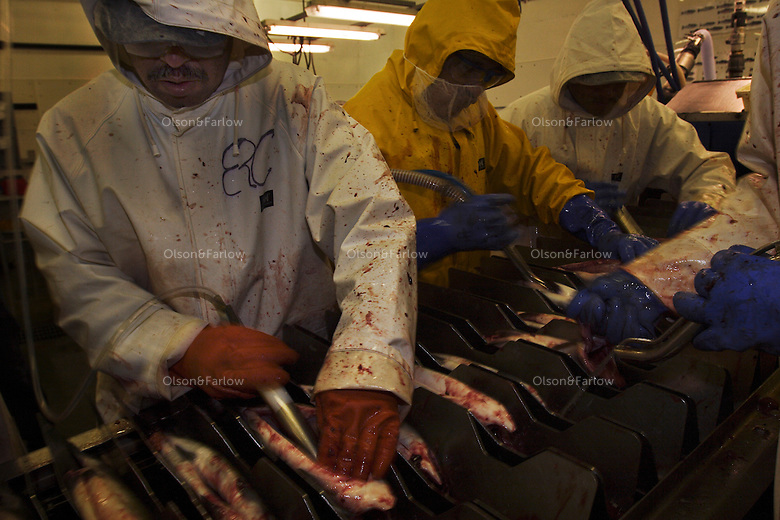 Workers process fish and eggs inside the cannery.   It is salmon season and boats are full of pinks (humpies), silvers,(coho), reds (sockeye), chum (dog) and king (chinook).  Halibut is unloaded and weighed.  Each fish ranged from 15 to 150 pounds with most averaging around 65.  The orange fish is a deep water fish called a Yelloweye.  Norquest is a small family operation founded in 1916--recently sold to Trident.  They employ about 60 workers..Petersburg is a town of 3100 of Norwegian fisherman on Mitkof Island that was settled at the turn of the last century.  It was a Tlingit fishing village 2000 years ago.  Today three seafood processing plants.  The port has the largest home-based halibut fleet in the Southeast. Petersburg is blessed to have shallow waters so cruise ships cannot enter the Narrows and it has remained a thriving, working community that is proud of that fact.  .