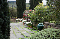 Northwest Terrace garden slate patio in early March with daffodil pots, Arbutus 'Marina', urn, and evergreen yews; Filoli Estate garden, Woodside California