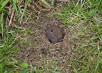 A vole in a burrow, Anglesey, North Wales.