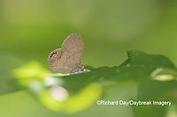 03488-00109 Gemmed Satyr (Cyllopsis gemma) Marion Co. IL