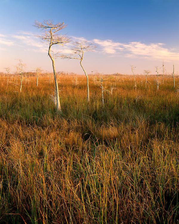Sunrise light on Dwarf Cypress trees; Everglades National Park, FL