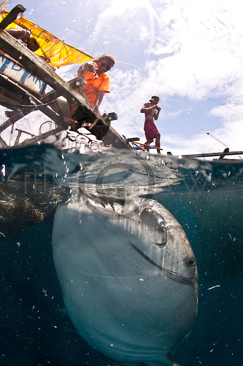 whale sharks are opportunistic feeders - they can be lured to a free feed by the fishermen on the fishing platform. endriwasih Bay; Indonesia; Rhincodon typus; slow-moving filter feeding shark; the largest living fish species; Nabire; West Papua; whale shark