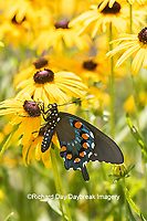 03004-01607 Pipevine Swallowtail (Battus philenor) on Black-eyed Susans (Rudbeckia hirta) Marion Co. IL