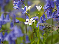 Greater Stitchwort {Stellaria holostea} Growing Amongst a Sea of Blue Bells {Hyacinthoides non-scripta} at Brede High Woods, East Sussex