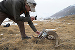 Snow Leopard (Panthera uncia) biologist, David Cooper, photographing Argali (Ovis ammon) male killed by snow leopard, Sarychat-Ertash Strict Nature Reserve, Tien Shan Mountains, eastern Kyrgyzstan