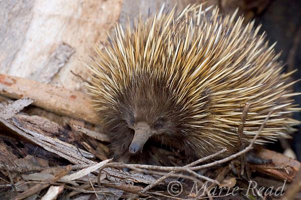 Short-beaked Echidna (Tachyglossus aculeatus), Kangaroo Island, Australia