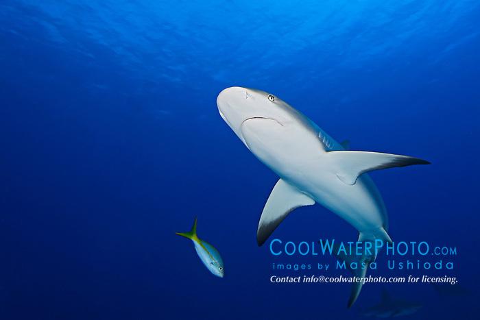 Caribbean Reef Shark, Carcharhinus perezi, West End, Grand Bahamas, Atlantic Ocean