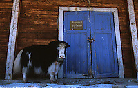 24 JUN 2002 - KHOVSGOL NATIONAL PARK, MON - A Yak shelters from the sun in the lea of an old trading post in Khovsgol .(PHOTO (C) NIGEL FARROW)