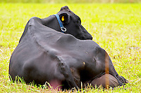 Cow Black Ruminating from behind Smaland region. Sweden, Europe.