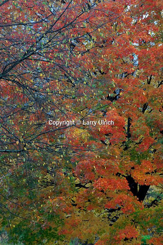 Sugar maple<br /> Devil's Lake State Park<br /> South Range<br /> Sauk County, Wisconsin