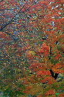 Sugar maple<br />