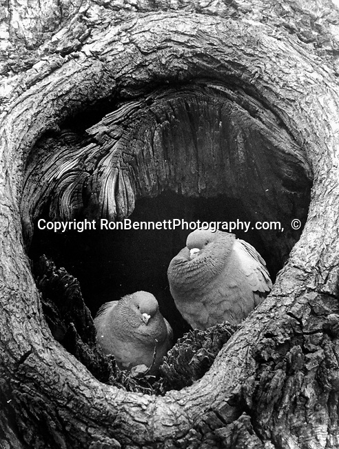 Pigeon stay warm together in tree,  Photojournalism, Photojournalist, collecting editing, presenting news photographs, Photojournalism provides visual support for stories, mainly in the print media,  Commercial photography's main focus is to sell a product or service. Fine Art photography are photographs that are created to fulfill the creative vision of the photographer, Photojournalism provides visual support for stories, mainly in the print media,  Commercial photography's main focus is to sell a product or service. Fine Art photography are photographs that are created to fulfill the creative vision of the photographer, Fine Art Photography by Ron Bennett, Fine Art, Fine Art photography, Art Photography, Copyright RonBennettPhotography.com ©