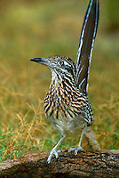 576018130 a wild greater roadrunner geococcyx californianus perches on a log at a small pond on a private ranch in the rio grande valley of south texas