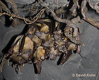 0812-1006  Group of Straw Colored Fruit Bats Hanging Upside Down in Roost, Eidolon helvum  © David Kuhn/Dwight Kuhn Photography