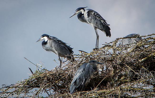 Serengeti Nesting site.