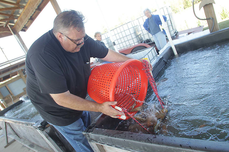 Rinsed and clean, Jim Malerba dumps a basket of prawns into a holding pit.
