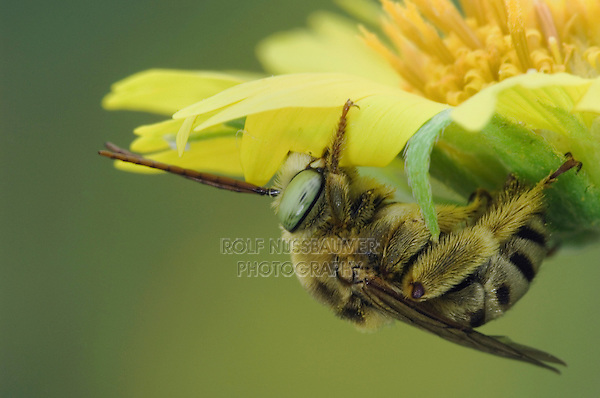 Bee on Golden Crownbeard (Verbesina encelioides), Willacy County, Rio Grande Valley, Texas, USA, June 2006