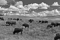 Buffalo and clouds.  Yellowstone National Park, Wyoming