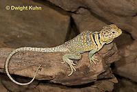 1R17-527z  Collared Lizard, Male, Crotaphytus collaris