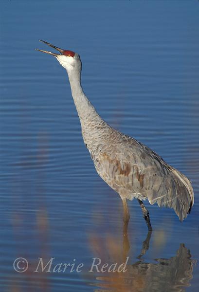 Greater Sandhill Crane (Grus canadensis) calling, Bosque Del apache National Wildlife Refuge, New Mexico, USA<br /> B37-401