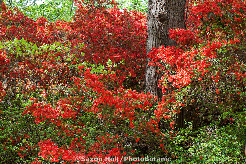 bright orange red flowering azalea shrubs rhododendron tango under pine trees in - Norfolk Botanical Garden