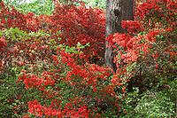 Bright orange, red flowering azalea shrubs, Rhododendron 'Tango' under pine trees in Norfolk Botanical Garden