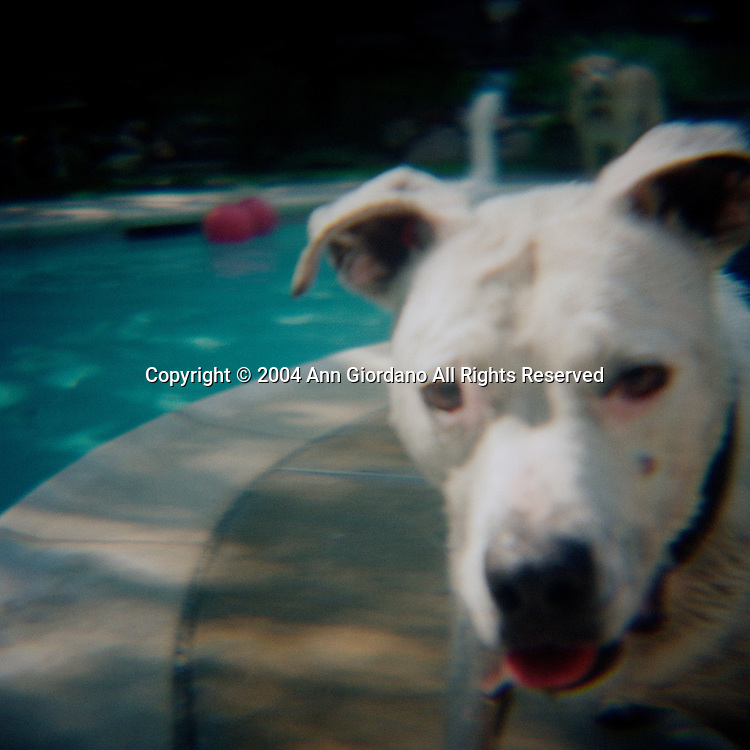 White Pit Bull American Staffordshire Terrier and Yellow Labrador in Background by Pool