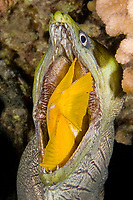 undulated moray, leopard moray, Gymnothorax undulatus, swallowing yellow tang, Zebrasoma flavescens, at night, Keahole, Kona Coast, Big Island, Hawaii, USA, Pacific Ocean, 2 of 4