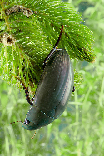 Silver Water Beetle - Hydrophilus piceus