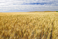 Wheat field<br /> near Piapot<br /> Saskatchewan<br /> Canada