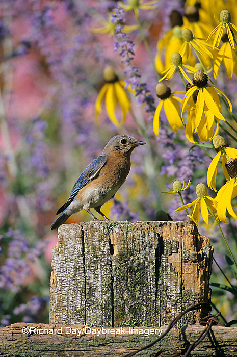 01377-07315 Eastern Bluebird (Sialia sialis) female on fence post in flower garden  Marion Co. IL