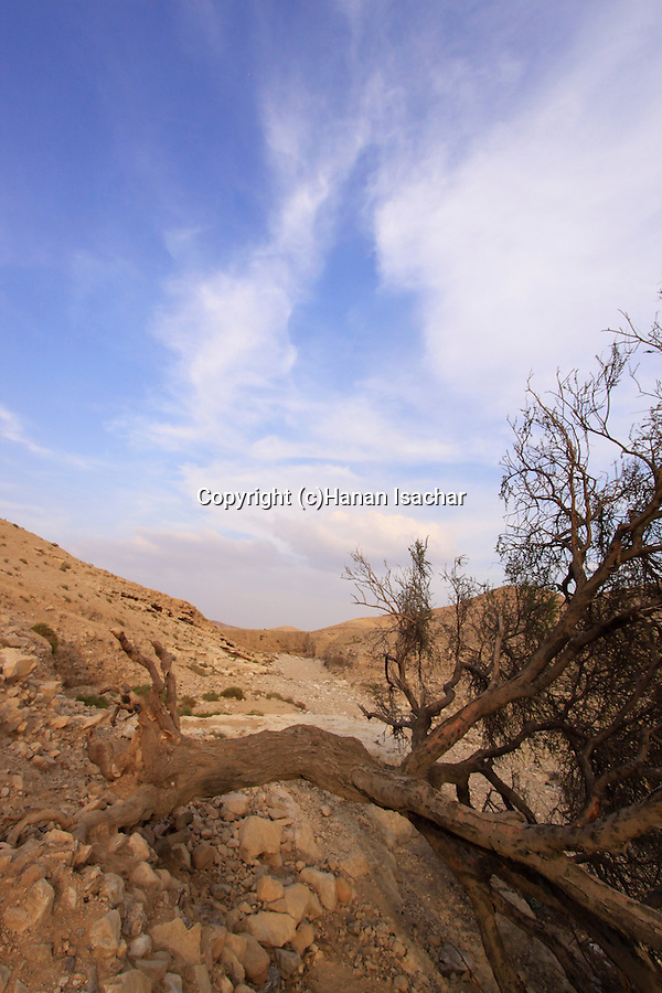 Israel, Judean Desert, a fallen tree in Wadi Yeelim