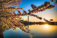 Washington Monument Cherry Blossoms Tidal Basin Washington DC Cherry Blossoms Washington Monument Tidal Basin Washington DC Cherry Blossoms Tidal Basin Washington DC<br /> Cherry Blossoms blooming around the Tidal Basin in Washington, DC symbolize the natural beauty of our nation's capital city and has become part of Washington, D.C.'s rite of spring. Landmarks include the Jefferson Memorial, Washington Monument, and US Capitol. A popular tourist attraction and travel destination for many visiting Washington, D.C. Washington DC Art - - Framed Prints - Wall Murals - Metal Prints - Aluminum Prints - Canvas Prints - Fine Art Prints Washington DC Landmarks Monuments Architecture
