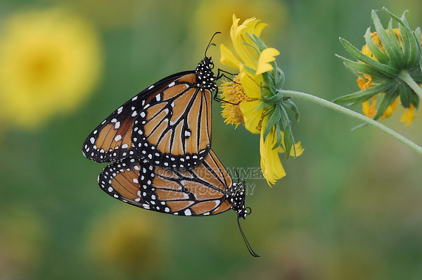 Queen, Danaus gilippus, pair mating on Golden Crownbeard (Verbesina encelioides), Willacy County, Rio Grande Valley, Texas, USA