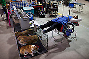 Jay Kim, of Anderson, South Carolina, takes a nap on his dog grooming table during the last day of the Championship Purebred AKC event, Sunday, March 25, 2012. The five day event was hosted by different kennel clubs from the area inside the Graham Building at the N.C. State Fairgrounds. .