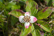 Bunchberry Dogwood -Cornus canadensis -  on the side of the Gulfside Trail, near Mount Clay,  in the White Mountains, New Hampshire USA. The Gulfside Trail is part of the Appalachian Trail.