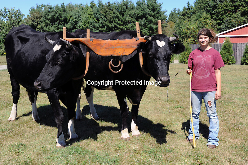Pair of Oxen Visiting the Orchard, New Hampshire