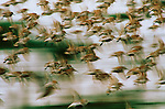 Western sandpipers  in flight.