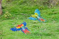 Scarlet Macaw (Ara macao) flying next to a Great Green Macaw (Ara ambiguus).  Found from southern Mexico south to the rainforests of the Amazon Basin in South America.  Photos taken in Costa Rica.