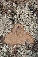 Kotwespe, Mellinus arvensis, Nesthaufen, Nest aus Sand zwischen Rentierflechten, Grabwespe, field digger wasp