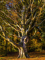 A tree in Muckross House Autumn Killarney in County Kerry.<br /> Photo: Don MacMonagle <br /> e: info@macmonagle.com