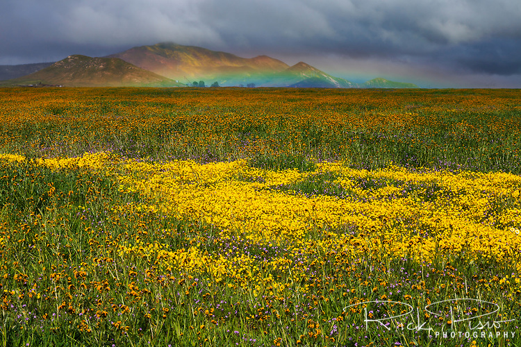 A spring rainshower brings a low arcing rainbow over a field of wildflowers on the Carrizo Plain