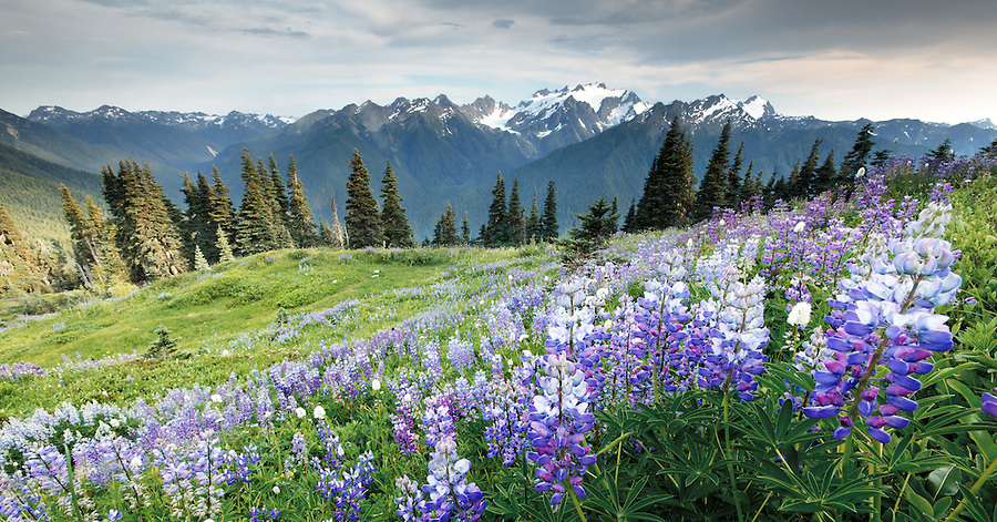 Subalpine meadow full of lupine on High Divide overlooking Hoh River valley and glaciated Mount Olympus