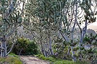 Leucadendron argenteum - Silver Tree, South African native tree with gray foliage; Wild Ridge Organics