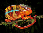 Panther Chameleon (Furcifer pardalis), captive.