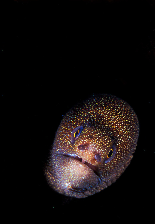 A Goldentail moray (Gymnothorax miliaris) comes out of the darkness, head on view, St Vincent