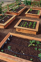 Seedling vegetables in wooden box raised beds; garden designed for small space front yard