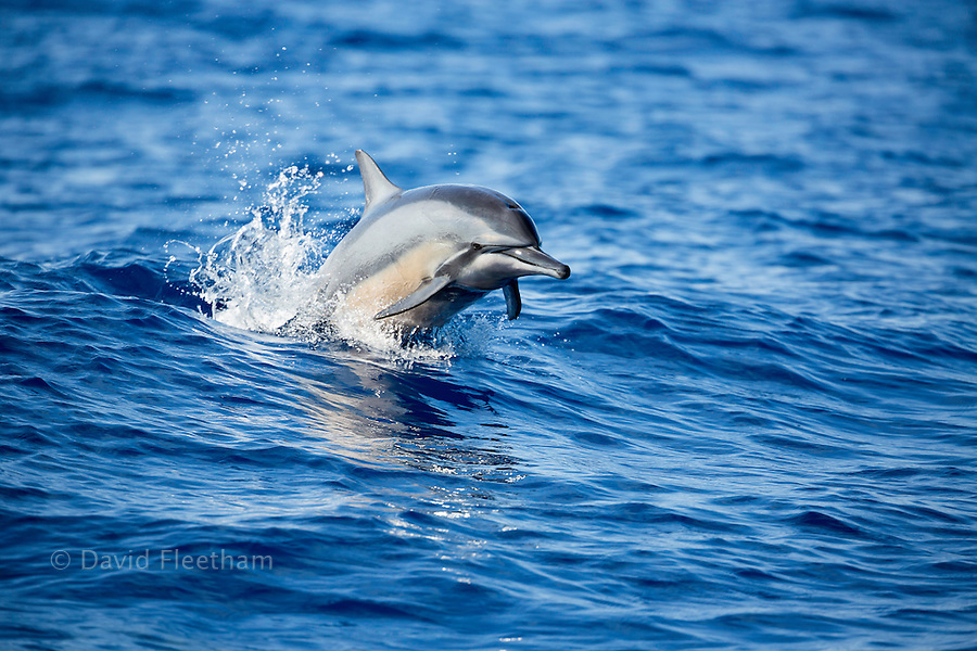 A spinner dolphin, Stenella longirostris, leaps out of the Pacific Ocean, Hawaii.