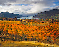 Cherry orchards display autumn color overlooking the Columbia River Gorge National Scenic Area at Mosier