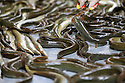 PICTURES TO GO WITH HENRY MCDONALD BREXIT STORY ON LOUGH NEAGH EELS. Brownish green in colour, slithering and sliding into plastic containers after the catch of the day, the Lough Neagh eel is the reason why most people living around the shore of the UK's largest freshwater lake will be voting to stay inside the EU next month. Every evening from now to mid November up to four tonnes of live wild brown eel fished from the 156 square mile lough will be flown out of Northern Ireland principally to the Netherlands to be eaten the following day. The export of the Brown eel nets the Lough Neagh Fishermen's Co-operative around £3 million per year with their key consumers being the Dutch and the Germans. <br /> On a murky morning beside the lough inside an aircraft hanger size building at Toome, Pat Close joined his workers in using thin pieces of wood to sweep thousands of quivering eels into the buckets that will be sealed and then sent by cargo plane to Europe a few hours later. Photo/Paul McErlane